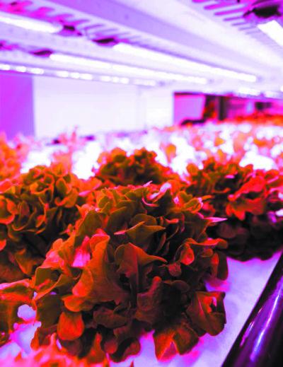 Салат-латук, выращиваемый под светодиодным освещением