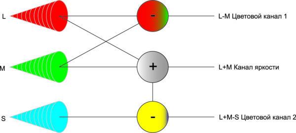 Сигналы от колбочек передаются из сетчатки в зрительную зону головного мозга через оптический нерв по одному яркостному каналу и двум цветовым