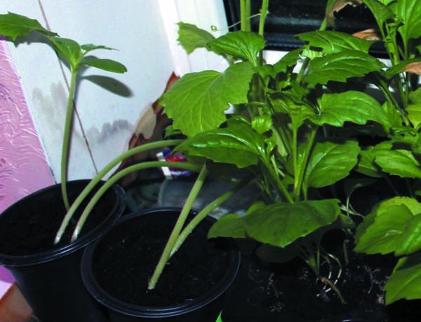 Контрольные растения без досветки